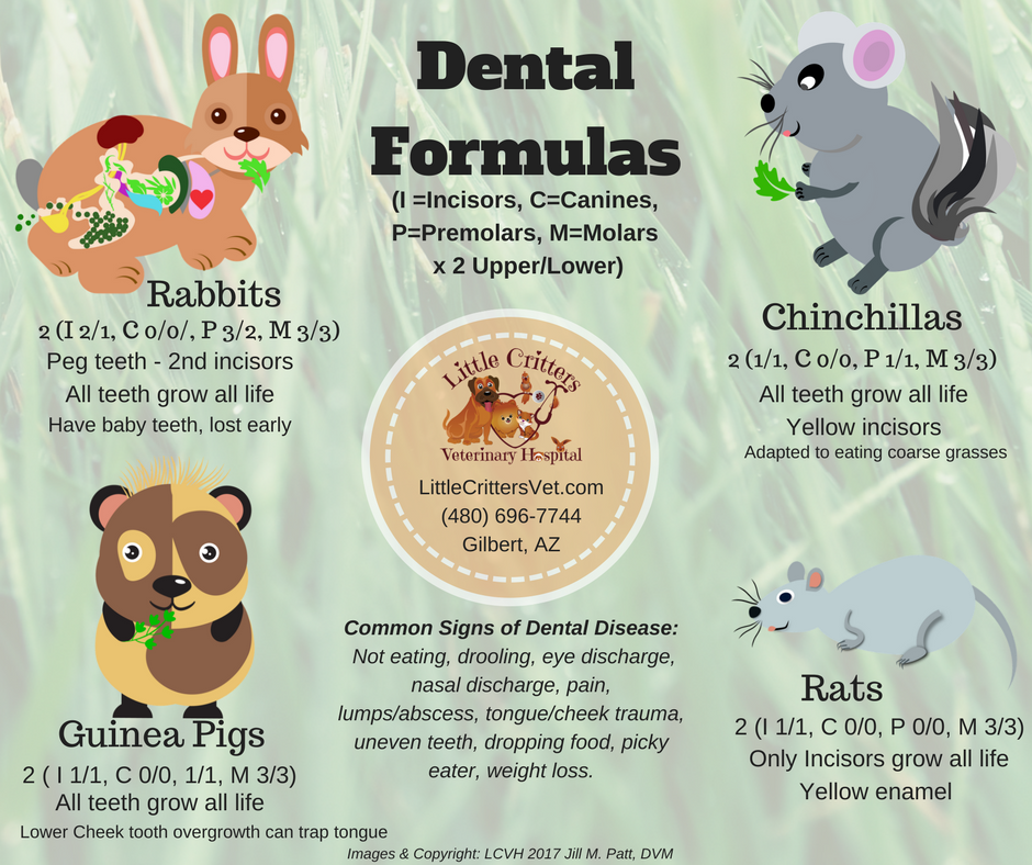 rabbit and rodent dental anatomy