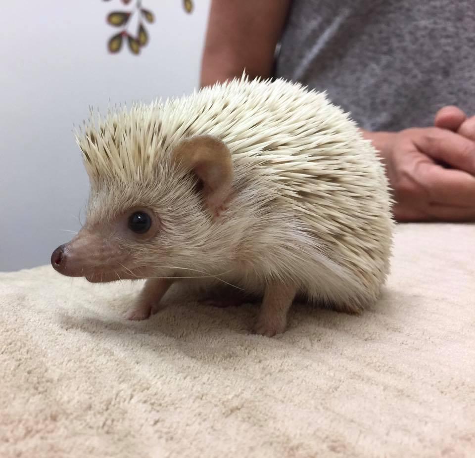 hedgehog care at little critters vet