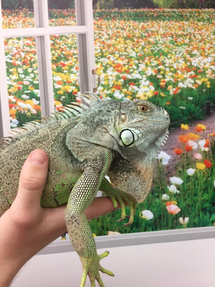 Iguana Vet Care at Little Critters Veterinary Hospital Gilbert, AZ
