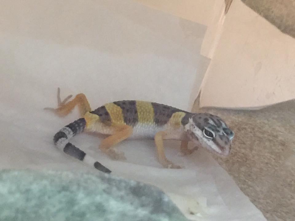 Gecko Vet Care at Little Critters Veterinary Hospital Gilbert, AZ