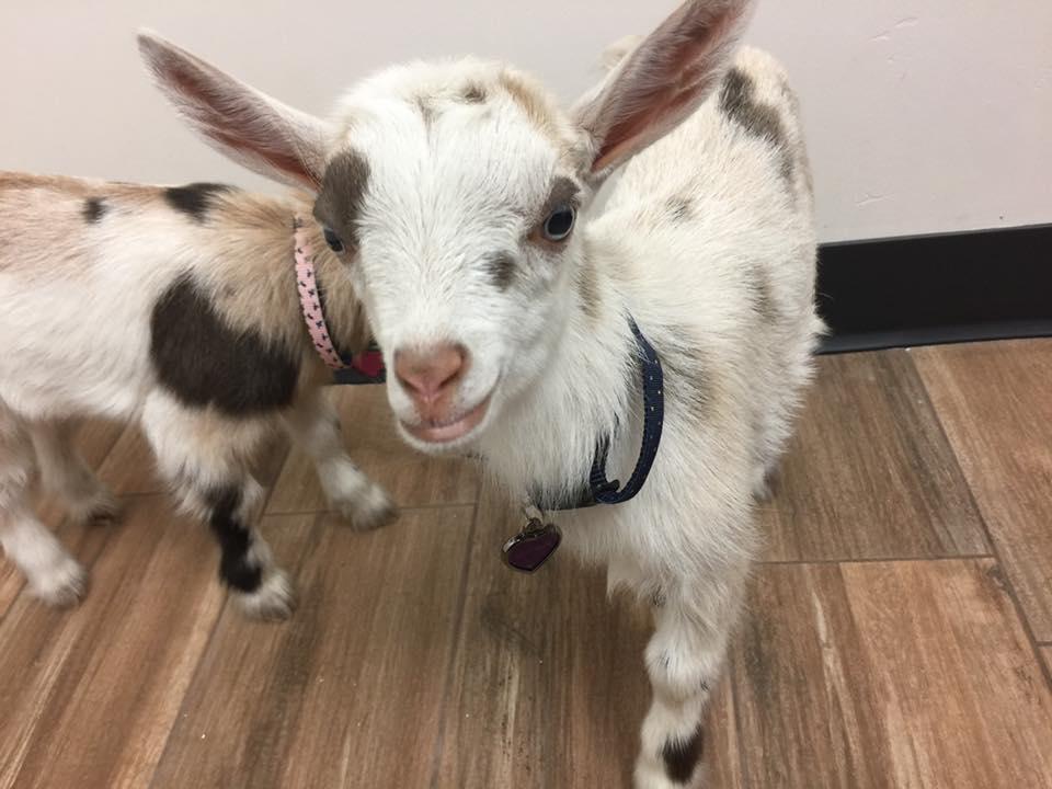 Goat vet Care at Little Critters Veterinary Hospital Gilbert, AZ