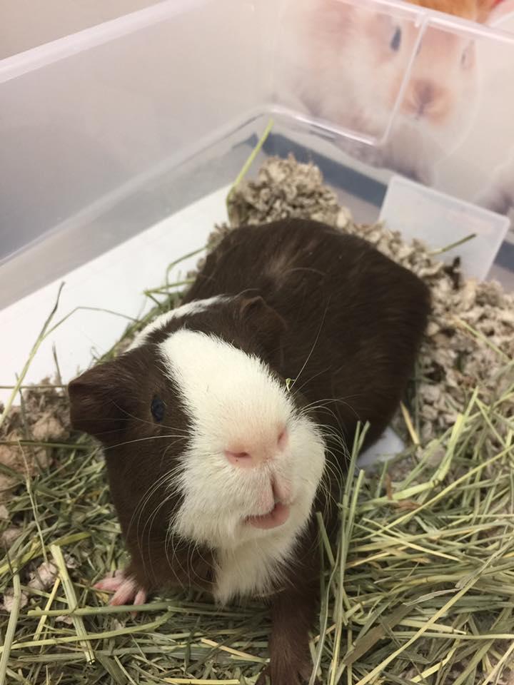 Guinea Pig care at little critters vet