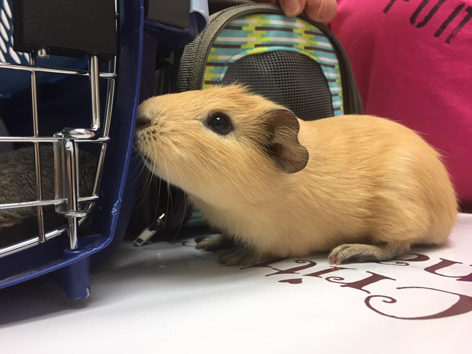 Guinea Pig Care at Little Critters Veterinary Hospital Gilbert, AZ