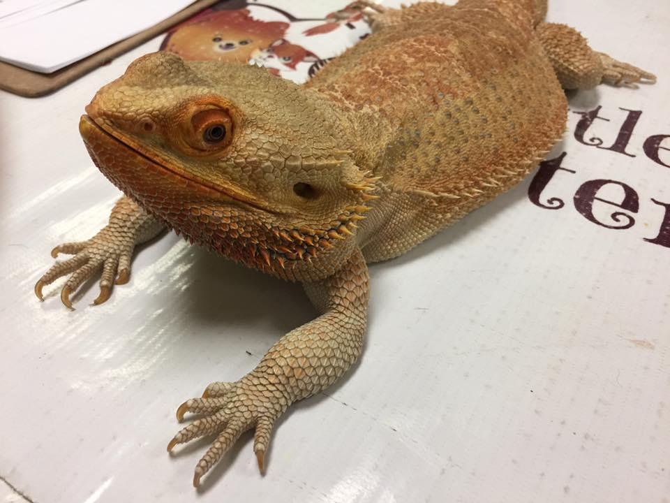 Bearded Dragon Vet Care at Little Critters Veterinary Hospital Gilbert, AZ