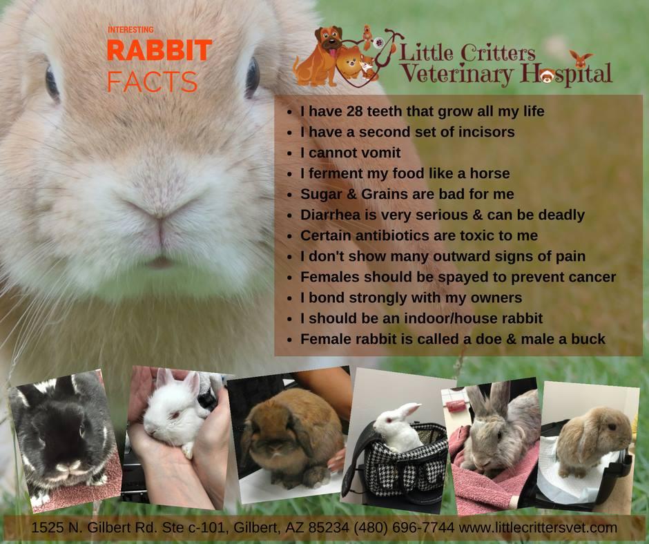 Rabbits Health Guide - Little Critters Veterinary Hospital - Gilbert, AZ