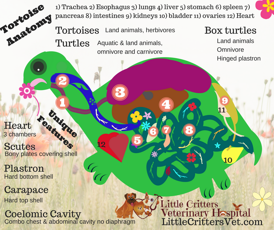 Turtle and Tortoise Anatomy