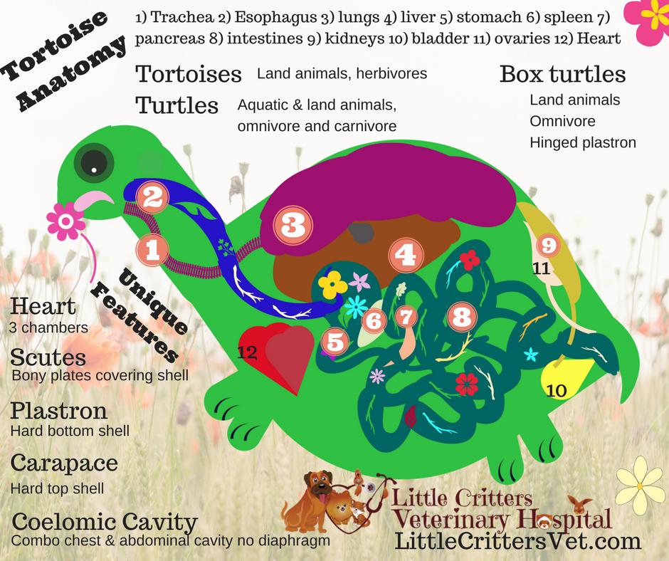 Turtle and Tortoise Anatomy
