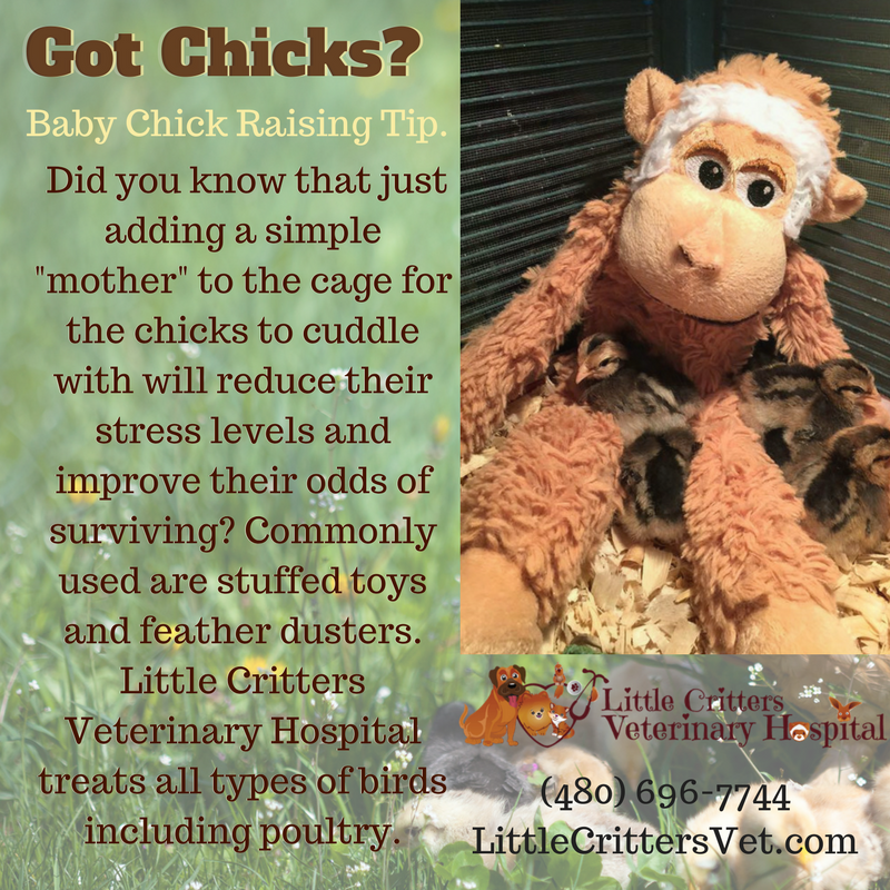 Chicken care at little critters vet
