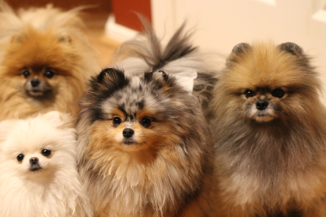 Jill M. Patt, DVM has vast experience and knowledge with the Pomeranian Dog Breed.