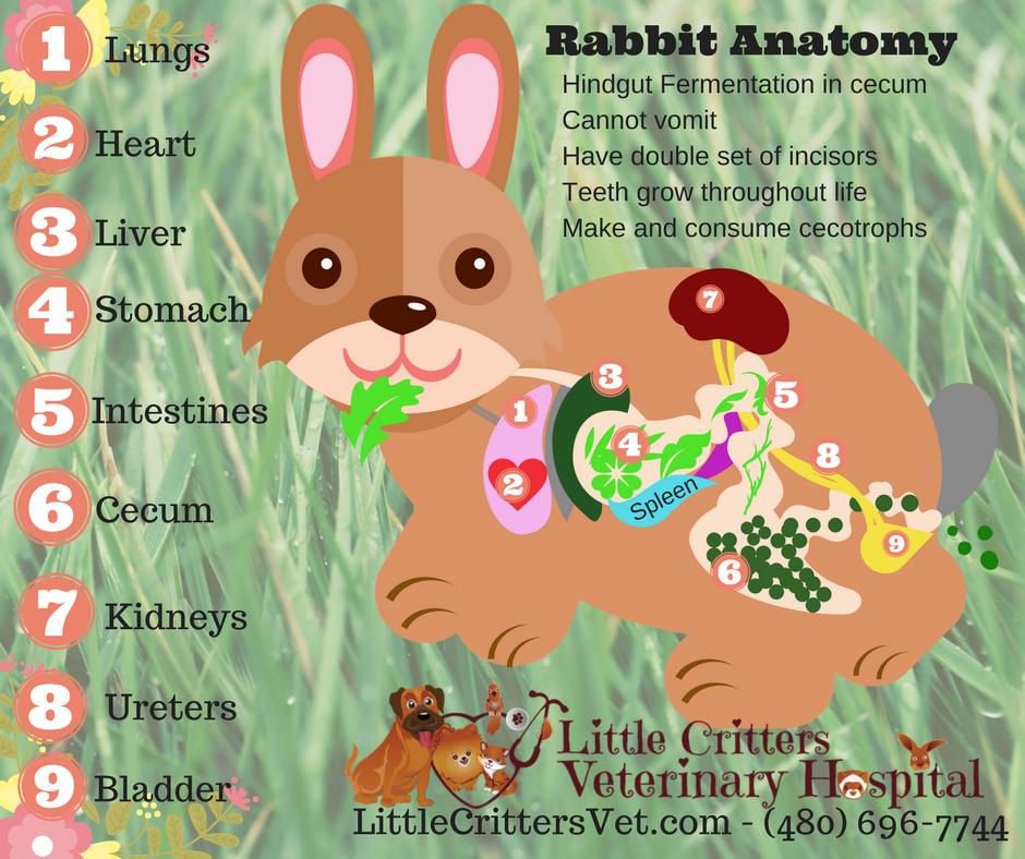 Rabbits - Little Critters Veterinary Hospital - Gilbert, AZ