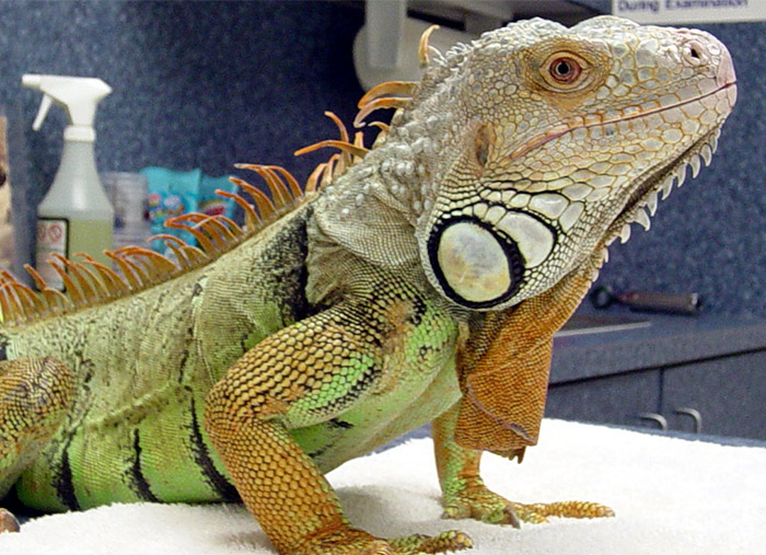Iguana: A common pet but one with special needs that must be met